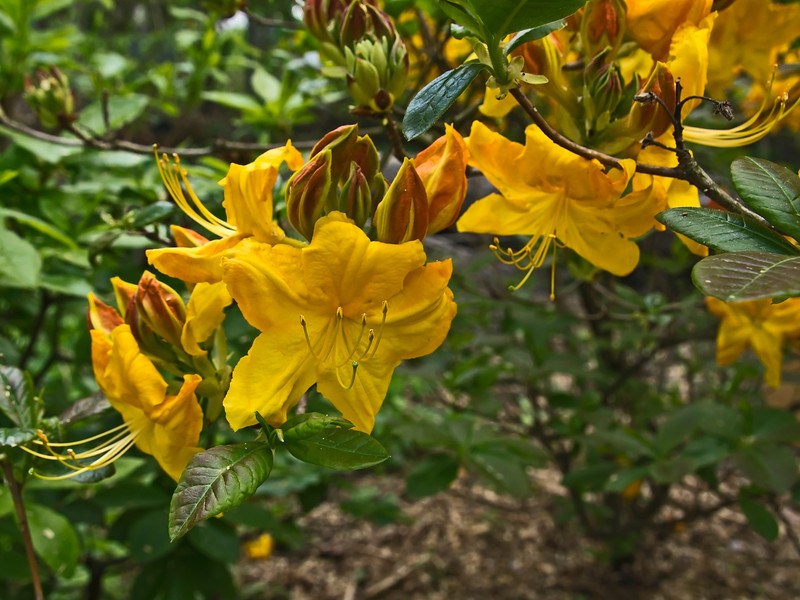 D129-2012 Rhododendrons<br /> <br /> Seen along the Laurel Ridge Trail, Nichols Arboretum<br /> May 9, 2012<br /> (nex5n)