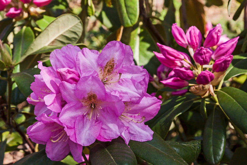 Laurel Ridge rhododendron