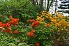 Laurel Ridge rhododendrons