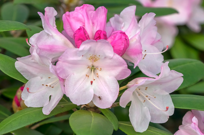 Yaku type rhododendrons