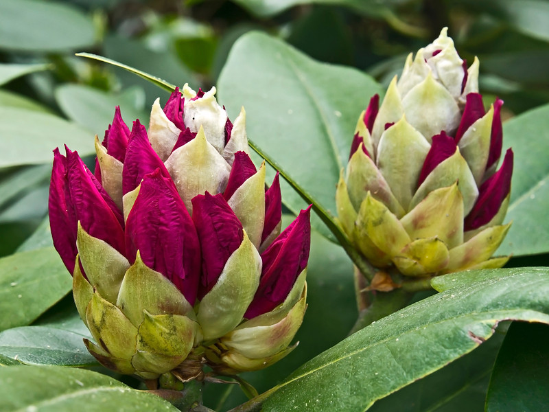 Buds on rhododendrons