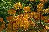 Rhododendrons 'Klondike', Laurel Ridge Trail<br /> <br /> Nichols Arboretum<br /> May 8, 2012<br /> (nex5n)