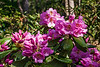 Laurel Ridge rhododendron