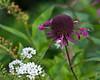 D194-2012 Monarda cultivar.<br /> .<br /> Toledo Botanical Gardens, Ohio<br /> July 13, 2012<br /> (nex5n)