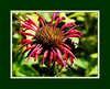 "D189-2012 Scarlet Beebalm, Monarda didyma x 'Jacob Cline'<br /> Family Lamiaceae (mint family) . . . Native to North America.<br /> The unframed version is here:  <a href=""http://smu.gs/N9oaF3"">http://smu.gs/N9oaF3</a> .<br /> Both versions have been treated with poster edges and fresco filters.<br /> .<br /> Toledo Botanical Garden, Ohio.<br /> July 8, 2012.<br /> (nex5n)"