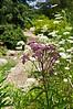 D201-2012 Joe-Pye Weed, genus Eutrochium.  Species probably E.maculatum, Spotted Joe-Pye Weed.<br /> Family Asteraceae . . . Native to North America.<br /> .<br /> Willow Pond Trail, Matthaei Botanical Gardens, Ann Arbor, Michigan.<br /> July 20, 2012.<br /> (nex5n)