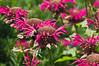 D199-2012 Scarlet Bee Balm, Monarda didyma 'Marshall's Delight'.<br /> Family Lamiaceae . . . Cultivar of a native North American wildflower.<br /> .<br /> Perennial Garden of the Matthaei Botanical Gardens, Ann Arbor, Michigan<br /> July 18, 2012<br /> (nex5n)