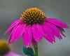 D240-2012 Echinacea 'Powwow Wild Berry'<br /> .<br /> Toledo Botanical Garden, Ohio.<br /> August 28, 2012
