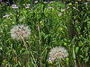 D190-2012 Salsify or Goatsbeard, genus Tragopogon, species unknown, but probably T. pratensis.<br /> Family Asteraceae . . . Alien<br /> With pale purple wild bergamot in the background, a quintessentially summer sight.<br /> .<br /> Tall Grass Prairie, Secor Park, Toledo, Ohio<br /> July 9, 2012<br /> (nex5n)