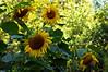 Sunflowers in the garden plot
