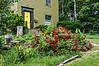 D186-2013  Dooryard roses<br /> .<br /> Onondaga Street and Geddes Avenue, Ann Arbor<br /> July 5, 2013