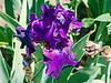 D157-2013 German iris (bearded iris), hybrid or cultivar unknown<br /> .<br /> Gardens at the Matthaei Botanical Gardens,<br /> Ann Arbor, Michigan<br /> June 6, 2013