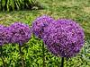 D157-2013 Allium<br /> .<br /> Gardens at the Matthaei Botanical Gardens,<br /> Ann Arbor, Michigan<br /> June 6, 2013