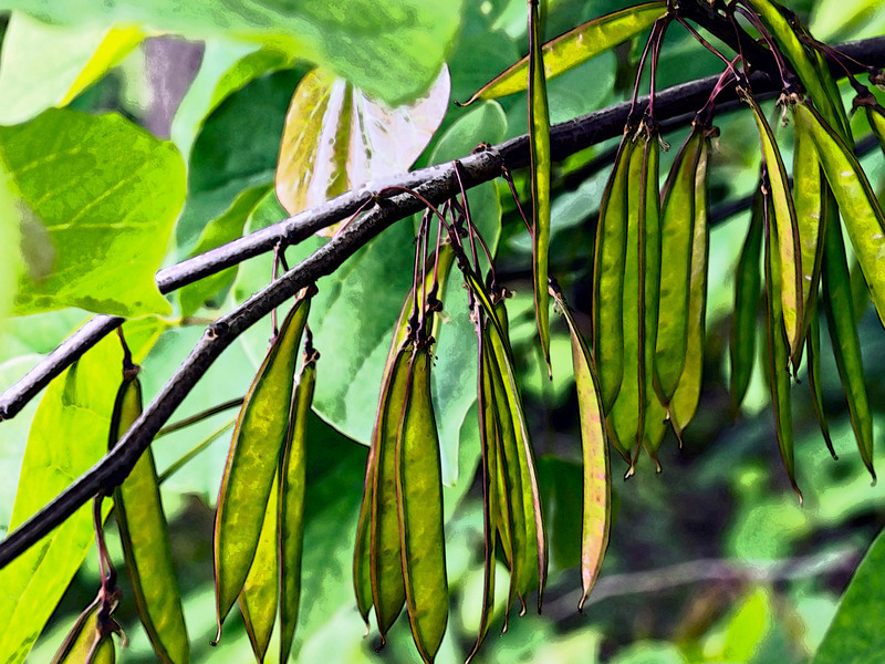 D159-2013 Green Beans<br /> Redbud tree.<br /> <br /> Along Geddes Avenue<br /> Ann Arbor, Michigan<br /> June 8, 2013