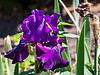 T06-01 June<br /> <br /> D157-2013 German iris (bearded iris), hybrid or cultivar unknown<br /> .<br /> Gardens at the Matthaei Botanical Gardens,<br /> Ann Arbor, Michigan<br /> June 6, 2013