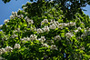 D162-2013 Northern Catalpa in bloom<br /> .<br /> Forest Hill Cemetery, Ann Arbor<br /> June 11, 2013