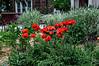 "Watercolor version<br /> See the unfiltered version here:  <a href=""http://smu.gs/ZEyatN"">http://smu.gs/ZEyatN</a><br /> D159-2013  Poppies in the flower garden in front of the Rudolf Steiner House.<br /> <br /> Geddes Avenue, Ann Arbor, Michigan<br /> June 8, 2013"