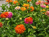 D199-2014  Zinnias<br /> <br /> Gateway Garden at the Matthaei Botanical Gardens, Ann Arbor, Michigan<br /> July 18, 2014