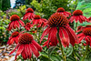 Red form of 'purple coneflower' (sc 2018-7-20)
