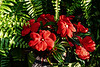 Ferns and impatiens in Christmas colors (sc 2018-7-16)