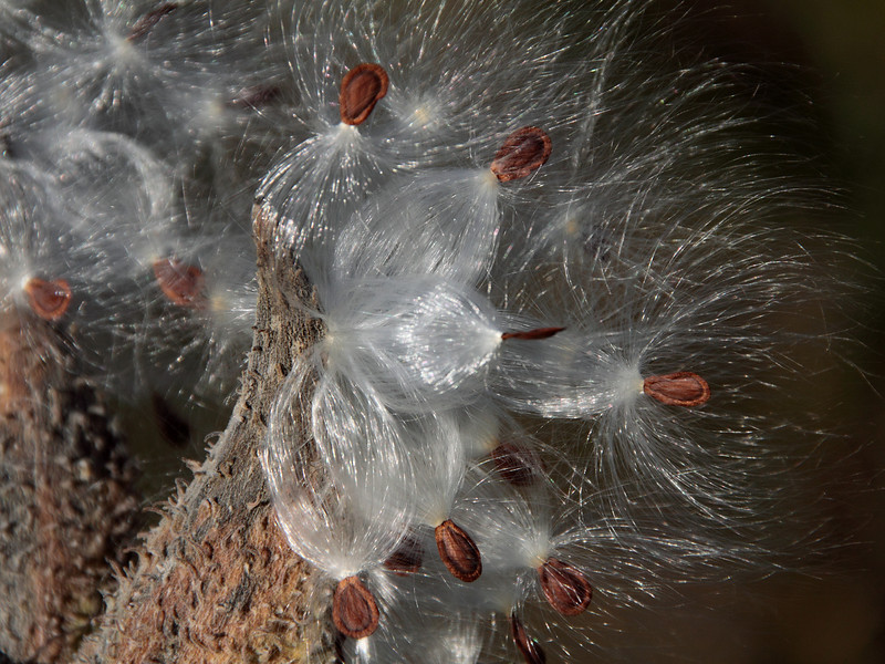 Fiber optics.  I wonder if anyone has ever measured the refractive index of milkweed floss, or its reflectivity.  It provides endless pleasure and fascination to millions of people each autumn,  to see the light shine through it and bounce from it.