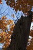 An old elm tree snag with a backdrop of leaves from an American smoketree, Cotinus obovatus.<br /> <br /> October 26, 2010