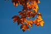 Sugar Maple foliage in fall