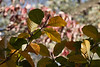 American beech tree (Fagus grandifolia), with a backdrop of Cornus florida foliage.<br /> <br /> October 26, 2010