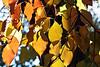 Backlit leaves of Cornus kousa.<br /> <br /> October 26, 2010