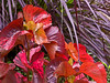 Acalypha - foliage plant with pretty fall colors