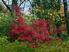 D292-2012 Japanese maple that has reached its peak brilliant red color, set off nicely by the still green shrubbery.<br /> .<br /> Ann Arbor, Michigan<br /> October 19, 2012