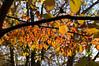 D309-2012 Backlit leaves of a flowering dogwood.<br /> .<br /> Toledo Botanical Garden, Ohio<br /> November 5, 2012