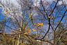 D309-2012 November sky with crab apples and sycamore<br /> .<br /> Toledo Botanical Garden, Ohio<br /> November 5, 2012