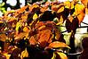 D309-2012 Late autumn color in dogwood foliage.<br /> .<br /> Toledo Botanical Garden, Ohio<br /> November 5, 2012