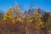 D306-2014  Larches near Mill Lake<br /> <br /> Taken November 2, 2014