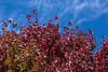 D282-2014  Some red maples turn almost maroon instead of scarlet.<br /> <br /> I-94 Rest stop east of Marshall, Michigan<br /> October 9, 2014