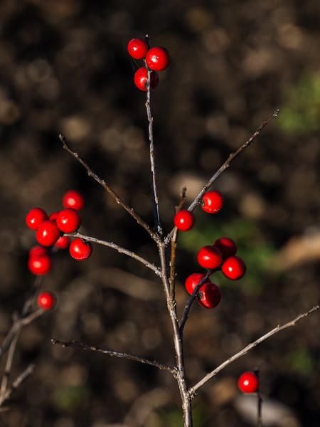 Winterberry, adding cheer to a nearly barren garden