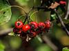 Ripe red hawthorn berries