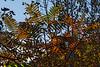Pinnate leaf patterns against the sky - staghorn sumac