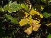 Starting to change color - oak leaves