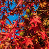 Scarlet leaves and yellow-green balls on sweetgum