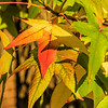 Sweetgum tree in autumn - paler foliage than is typical