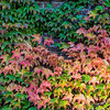 A range of colors as the ivy turns