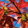 Sweetgum fall foliage and seed heads, aka gum balls - colors of sangria and celery