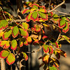 Spring blooming witch hazel in autumn