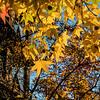 Yellow sweetgum leaves - suggesting a stir fry of summer squash