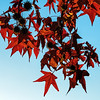 Red sweetgum foliage with back lighting
