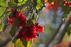 Bumper crop - high bush cranberries