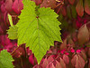 Grape leaf over Euonymus in Autumn