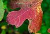 Leaf portrait:  Sassafras 5<br /> <br /> Hidden Lake Gardens, Lenawee County, Michigan<br /> September 27, 2011